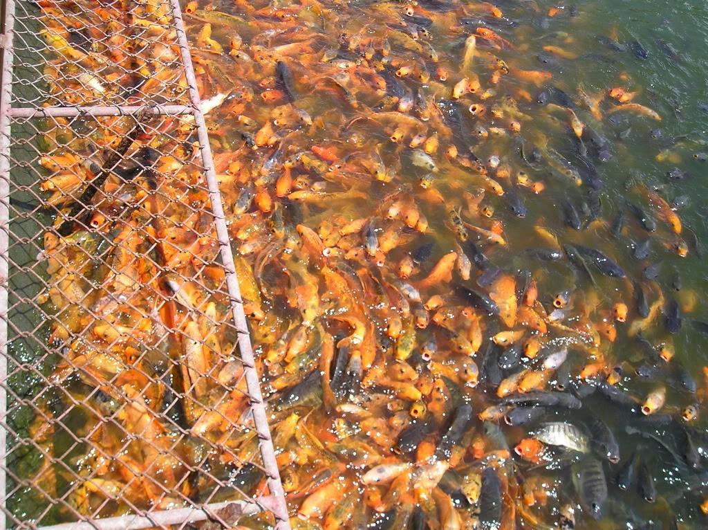 Cá chép tại hồ nước ngọt