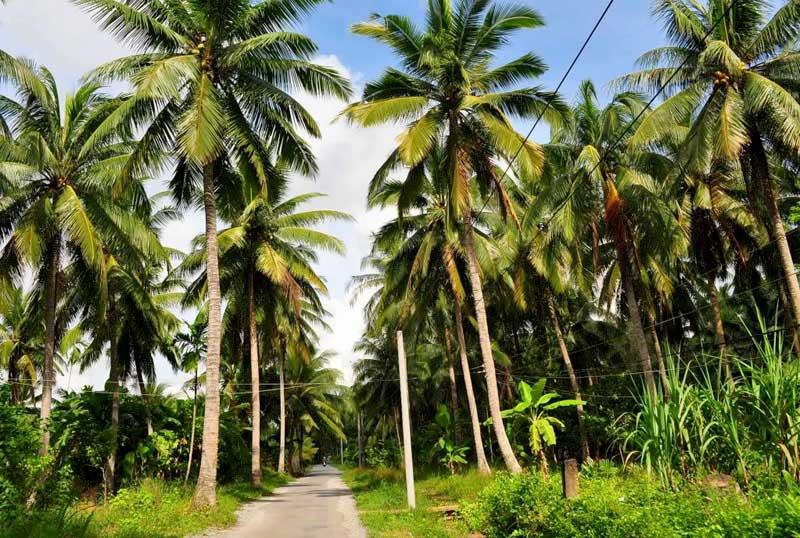 Dừa Bến Tre