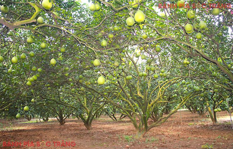Ngắm vườn cây sai trĩu quả và thưởng thức bưởi sẽ luôn làm đắm lòng du khách