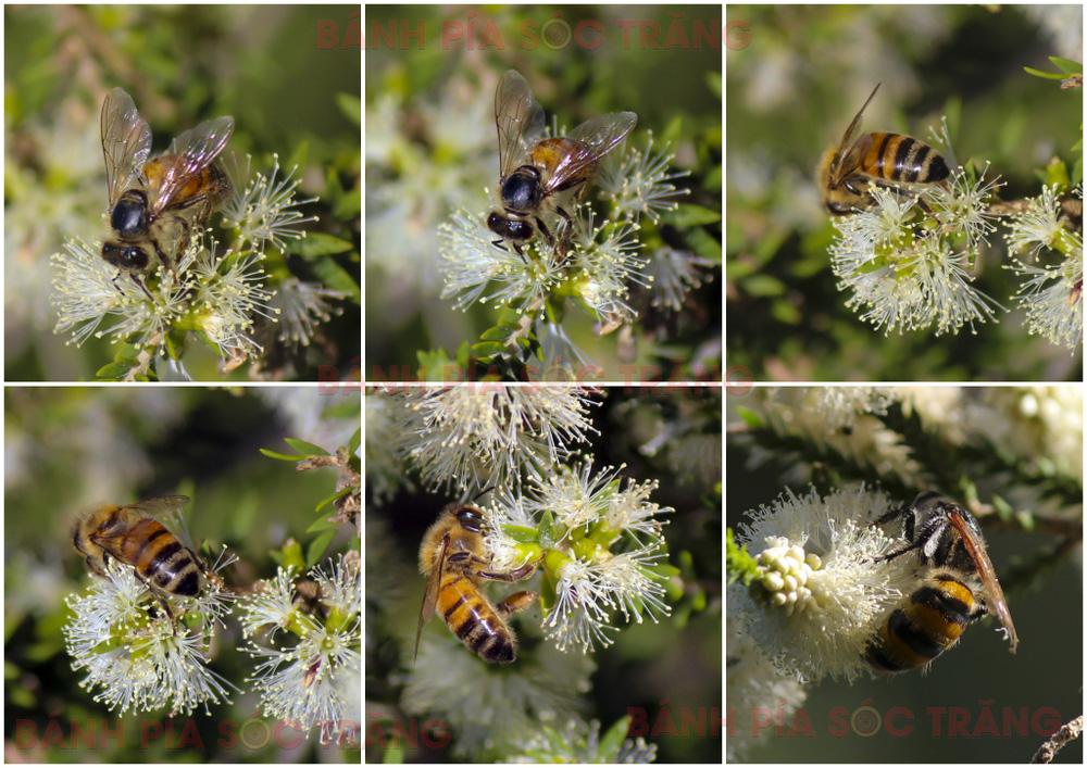 Mật ong rừng hoa tràm