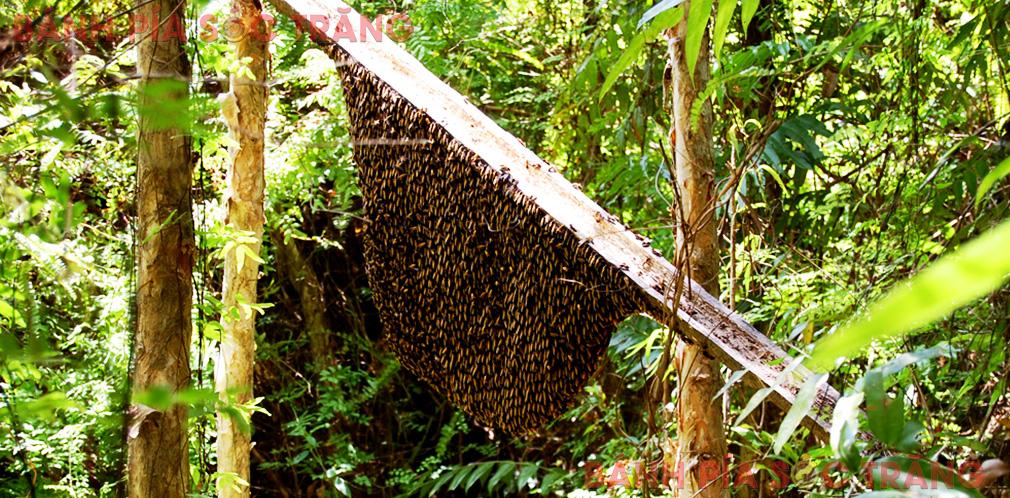 Tổ ong rừng hoa tràm
